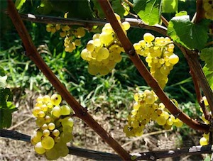 sustainable wine growing